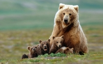 Mother bear and cubs in Katmai National Park Alaska