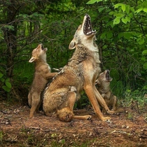 Mother coyote teaching her coyote pups how to howl