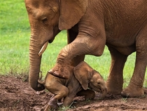 Mother Supporting her Cute Baby Elephant out of mud