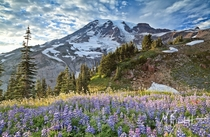 Mount Rainier rising above a patch of lupines in Paradise Mount Rainier National Park  photo by Michael Burkhardt
