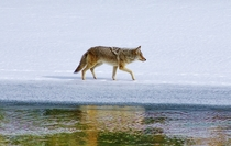 Mountain Coyote Canis latrans lestes Yellowstone National Park
