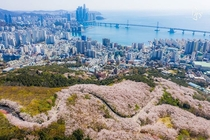 Mountain full of cherry blossoms overlooking the ocean Busan South Korea