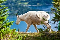 Mountain goat Oreamnos americanus nanny in Glacier Park Montana x photo Jerry Mercier