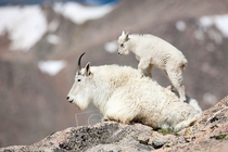 Mountain Goat Oreamnos americanus Photographer Michael Mauro