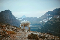 Mountain goat posing deep inside Glacier National Park