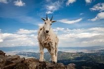 Mountain Goat  x