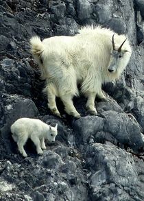Mountain goats in Glacial Bay National Park Alaska Photo credit Richard Nelson  National Park Service