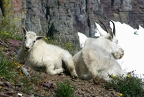 Mountain goats Oreamnos americanus in Glacier National Park Montana USA