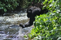 Mountain gorilla drinking from a stream