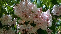 Mountain Laurel Kalmia latifolia