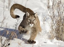 Mountain Lion running in snow near Bozeman Montana