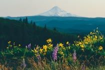 Mountain Lupine and Mt Hood - Rowena Crest Oregon