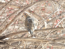 Mourning Dove Zenaida macroura saw me first
