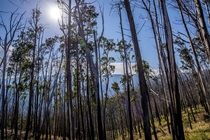 Mt Hotham Victoria Australia- After the fires comes regrowth