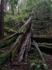 Muir Woods California - lush green are a bit of rain