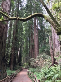 Muir Woods Redwood Forest Sequoia Sempervirens  OC