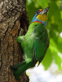 Mullers Barbet by Tomson Tsao