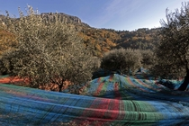 Multi-coloured nets used to harvest olives near the village of Castagniers France