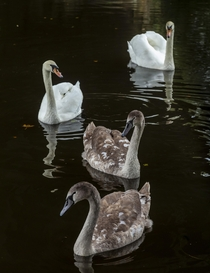 Mum Dad and the twins - swan family on the Stafford and Worcester Canal near Newbridge Wolverhampton