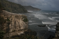 Muriwai Beach and Gannet Colony New Zealand