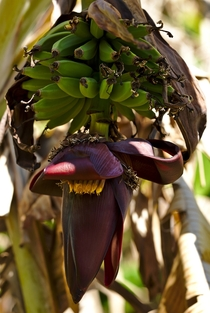Musa - wild banana with inflorescence