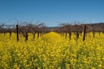 Mustard Plant Flowers in Napa Valley