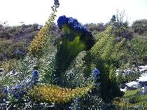 Mutated flower stalk on an Echium Candicans Pride of Madeira