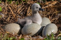 Mute swan Hatching - waiting on siblings to hatch Central FL