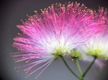My albizia julibrissin probably blooming for the last time this year