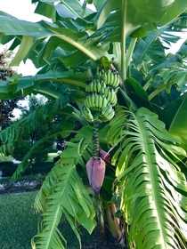 My banana tree finally grew some bananas