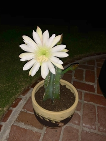My cactus cutting bloomed a night flower at midnight
