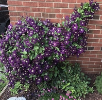 My clematis lost her mind this year Thanks super weird springsummer