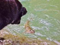 My Dog Contemplates A Bull Trout