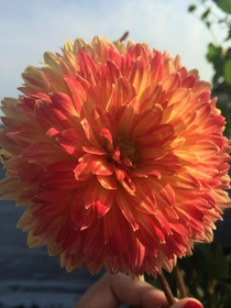 My first Dahlia bloomed the other day