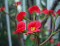 My first encounter with a flowering Crown of Thorns plant Euphorbia milii