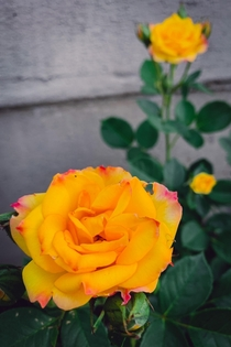 My first ever rose as a gardener Grandiflora Yellow Typhoon