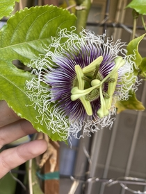 My Fredericks Passion flower plant Passiflora edulis Frederick blooming this week   Passion flowers are my favorite flower I like this variety because of the purple
