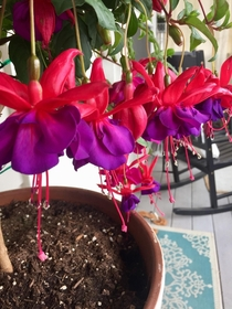 My Fuchsia named Vegas is the Diva of our garden