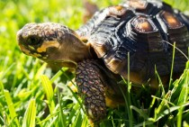My girlfriends pet Red-footed Tortoise Chedlonoidis carbonaria