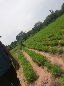 My Groundnut farm I am mus from the Gambia looking for some advice and help on how to boost my productivity