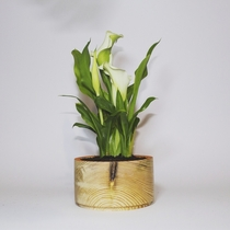 My indoor calla simple and effective