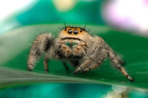 My lovely Pet Jumping Spider Peggy