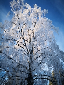 My majestic weeping birch in its winter coat