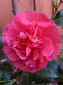 My newly planted Camellia first bloom OC