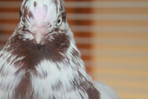 My Pet Pigeon Columbidae