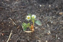 My Strawberry Fragaria ananassa flowered today