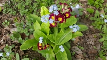 Myosotis forget-me-nots in the foreground with Primula Vulgaris red primroses in the background