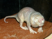 Naked mole-rats also known as sand puppies are burrowing rodents native to East Africa  by Roman Klementschitz