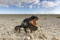 Namaqua Chameleon Chamaeleo namaquensis in a threat display in the Namib Desert Namibia