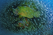 Napoleon Wrasse Cheilinus undulatus and a school of baitfish off the Great Barrier Reef Christian Miller